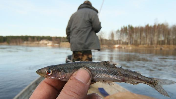 «Рыбе не прикажешь»: стало известно, почему в Петербурге не спешат торговать корюшкой