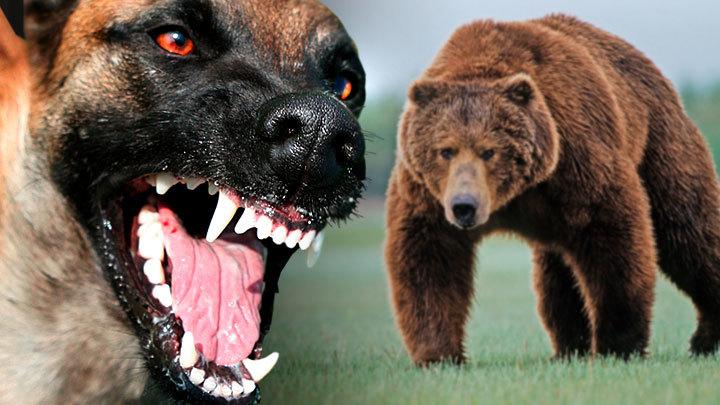 Голод, бешенство и страх: Топ-5 самых опасных для человека животных в России