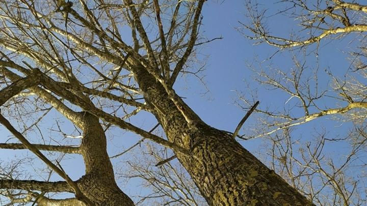 Власти Кемерова проведут масштабную рубку деревьев в Центральном районе