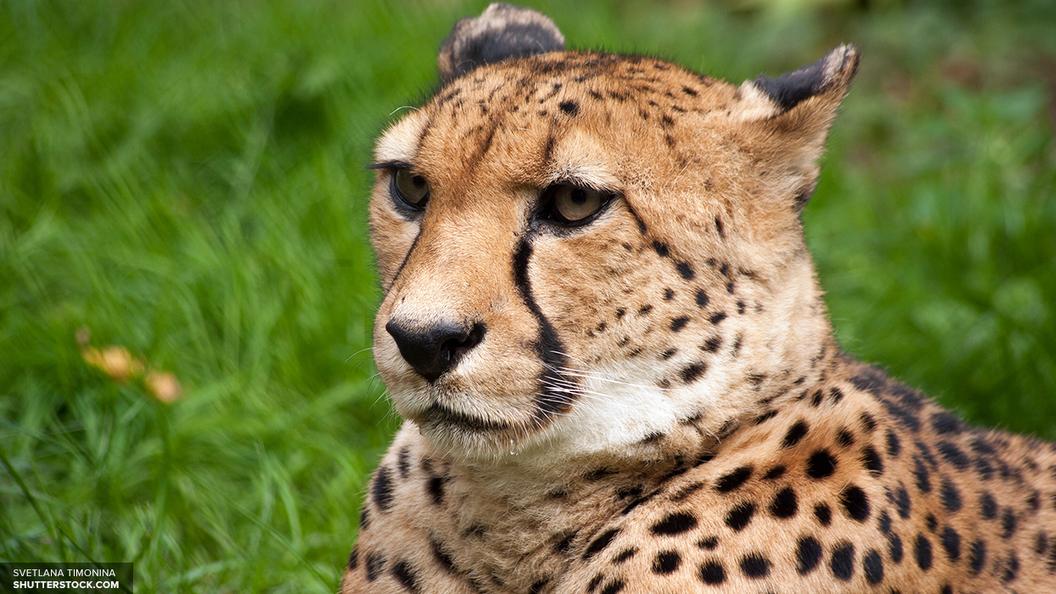 ДНК двухсот 9-ти старинных кошек раскрыли кошачью стратегию завоевания мира