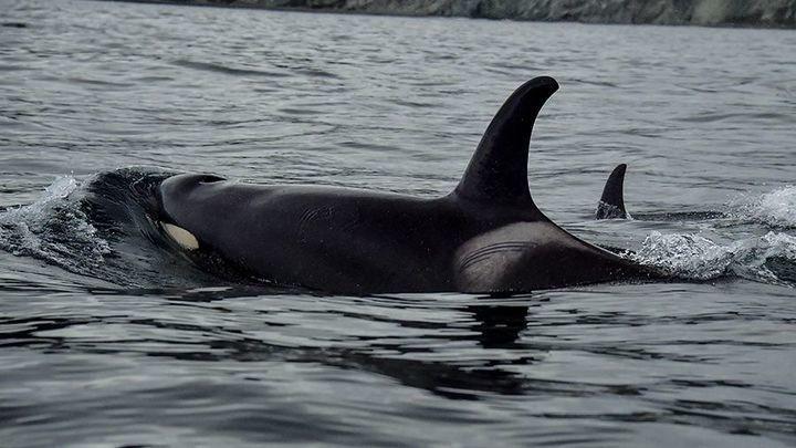 Косаткам из китовой тюрьмы предстоит путь в 1,8 тысячи километров. До свободы два дня