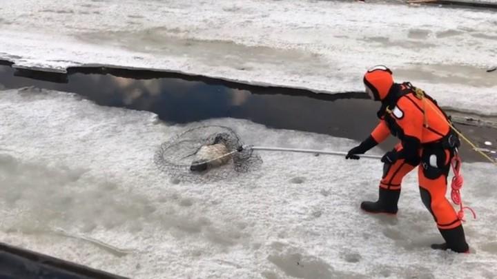 Истощенного тюлененка в центре Петербурга поймали после двух дней поисков