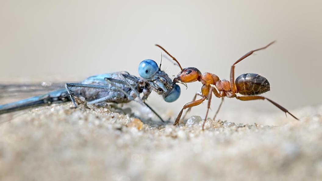 Ученые раскрыли, как муравьи лечат больных собратьев, избегая заражения