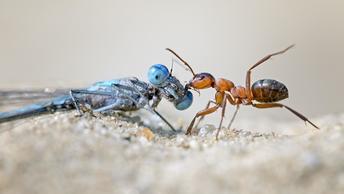 Ученые выяснили, как муравьи-врачи лечат болезни и сами избегают заражения