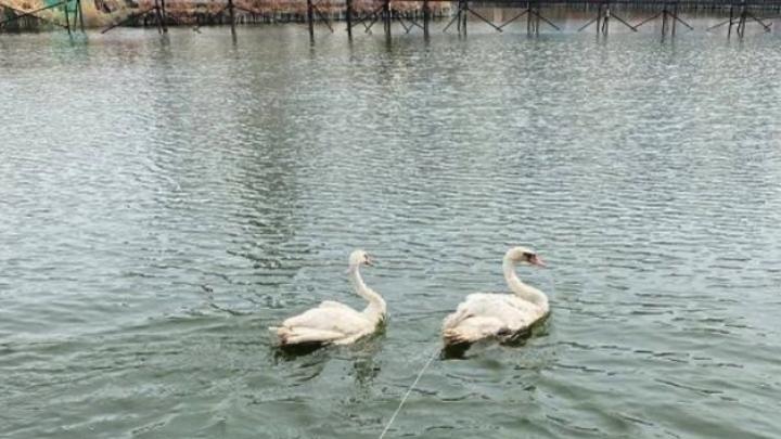В Челябинской области православный храм приютил на лето две пары лебедей