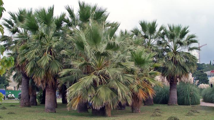 Сочи оккупировали паразиты: Жители заметили насекомых - уничтожителей пальм