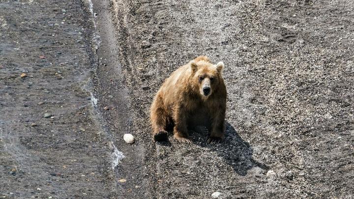 Парень откупился от медведя мороженым: Погоню хищника запечатлели на видео