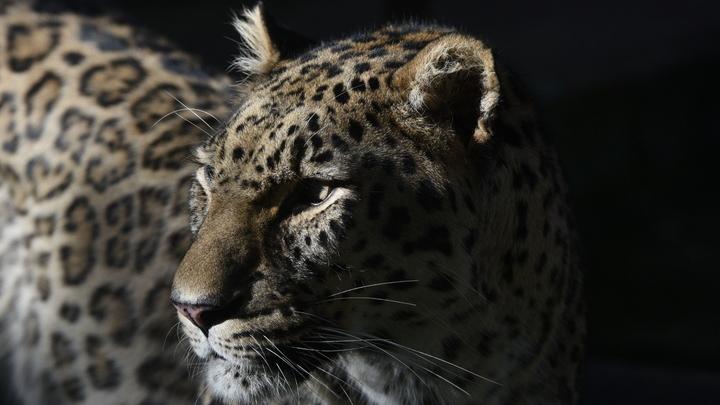 Убили моего Килли: Екатерина Андреева не сдержала слез после гибели леопарда от рук браконьеров