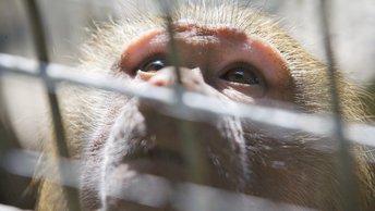 Volkswagen скрыла результаты тестирования выхлопов на обезьянах
