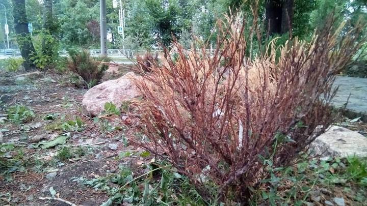 В Челябинске в новых скверах погибают деревья и кустарник