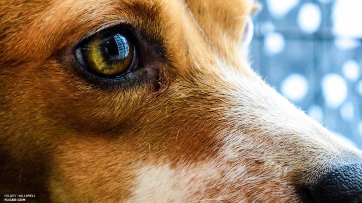 Страшнее таксы зверя нет: Вор ретировался, испугавшись лая собаки
