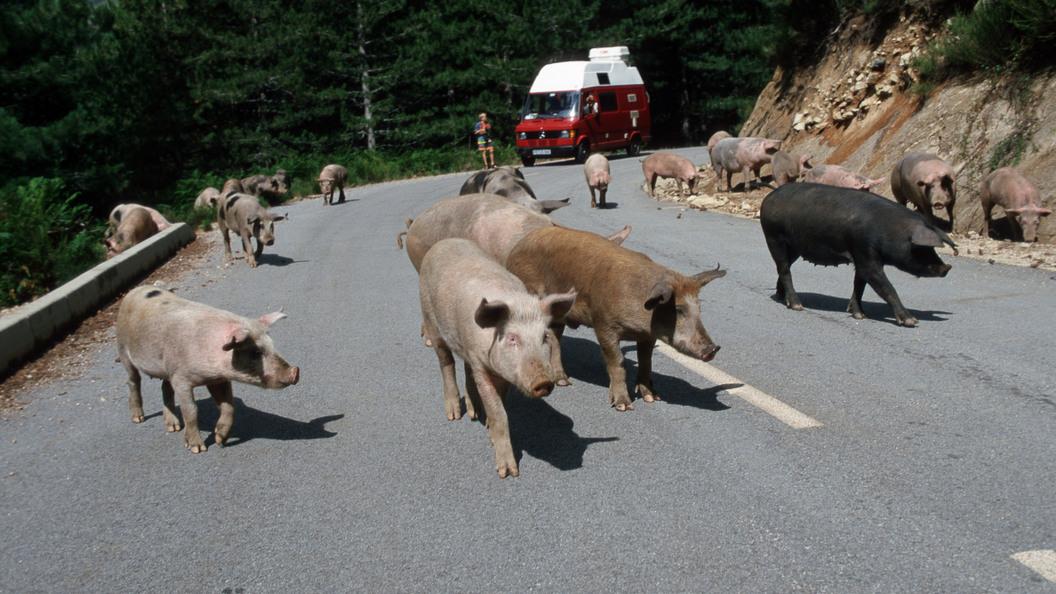 Вспышка АЧС Россельхознадзор запретил поставки свинины из Чехии