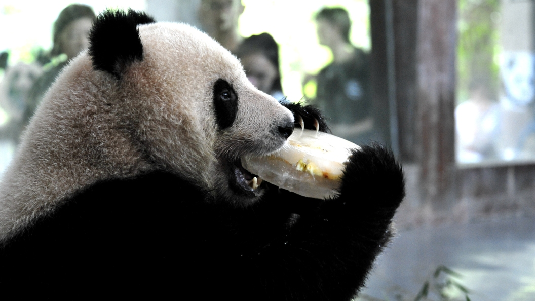 Сотрудники зоопарка вступили в ожесточенную схватку с пандами