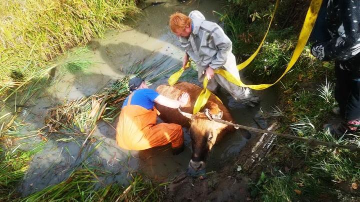 Ивановские спасатели выручили из беды корову, которая провалилась в болото