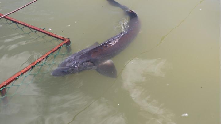 Новосибирский рыбзавод займётся восстановлением популяции исчезающего вида осетра