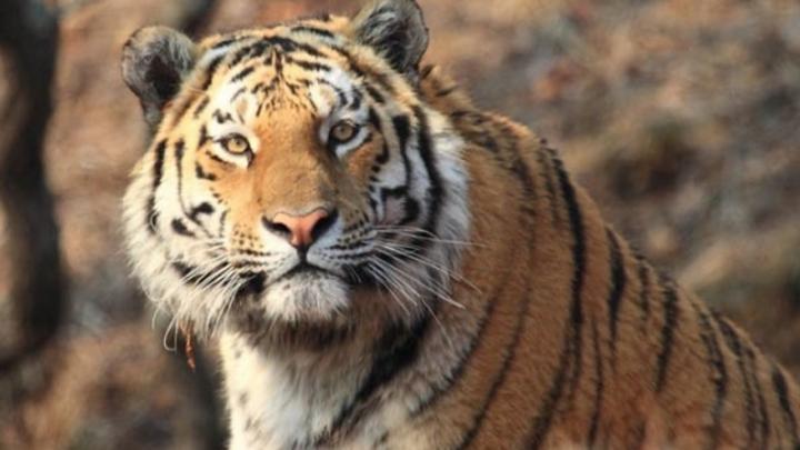 Вопиющий случай!: В Приамурье неизвестные расправились с краснокнижным тигром Павликом