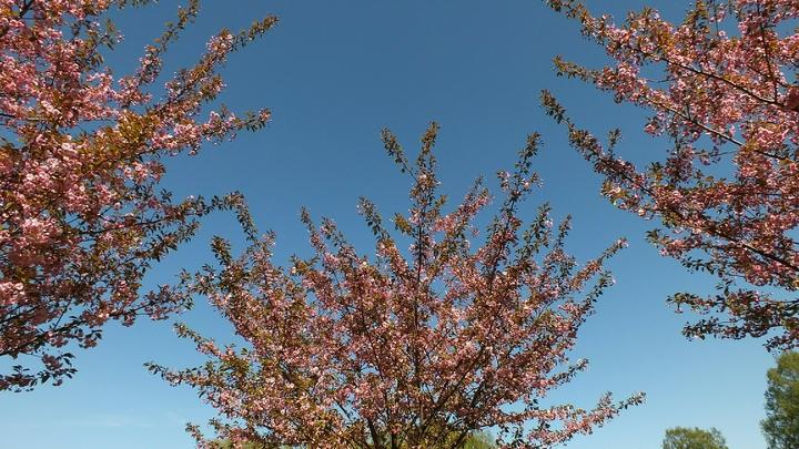 Не дай эротике убить сакуру. Ботанический сад Петербурга ищет волонтеров, чтобы спасти дерево