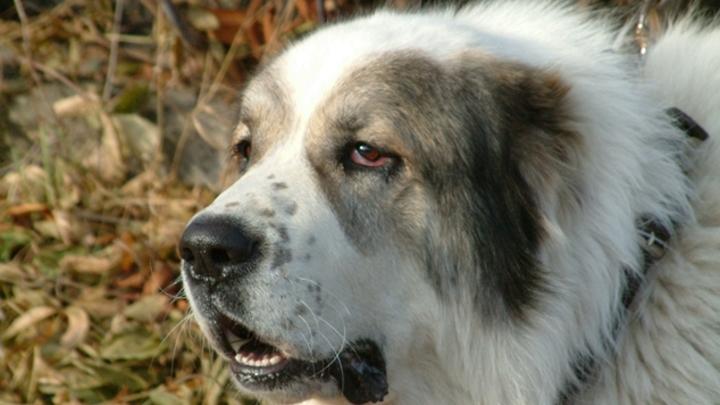В Кузбассе стая чипированных собак разодрала лицо девочке