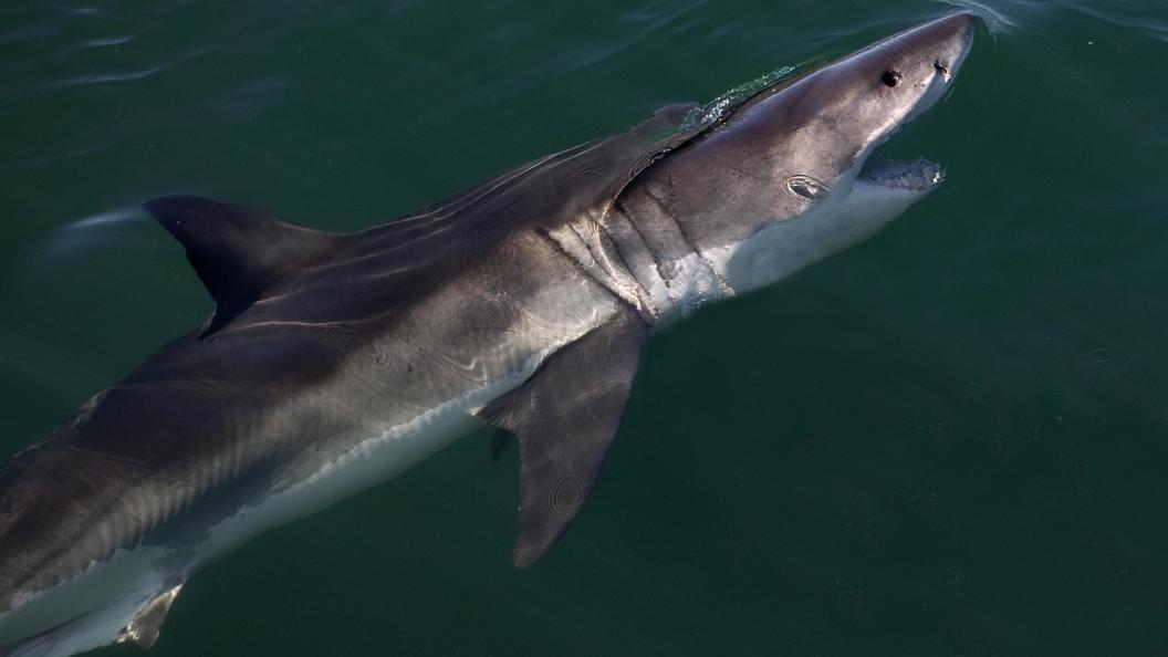 Дрожащие Челюсти: В США от холода умерли две белые акулы