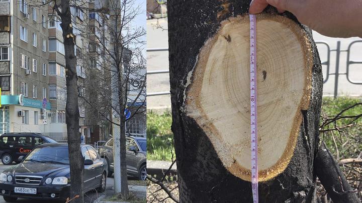 В Челябинске общественники поймали подрядчика за варварской обрезкой деревьев