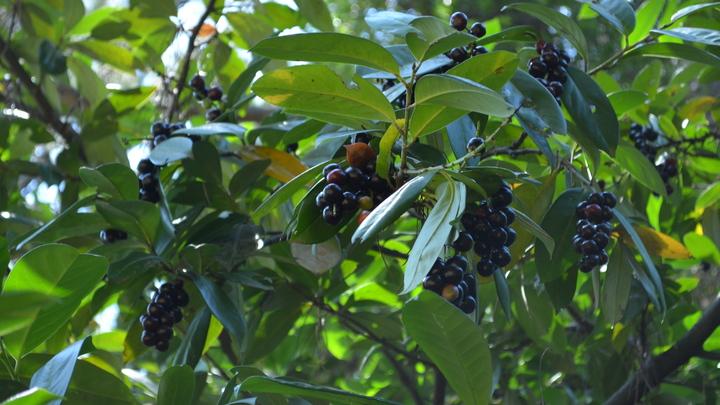 В Сочи в парке «Дендрарий» созрели плоды лавровишни