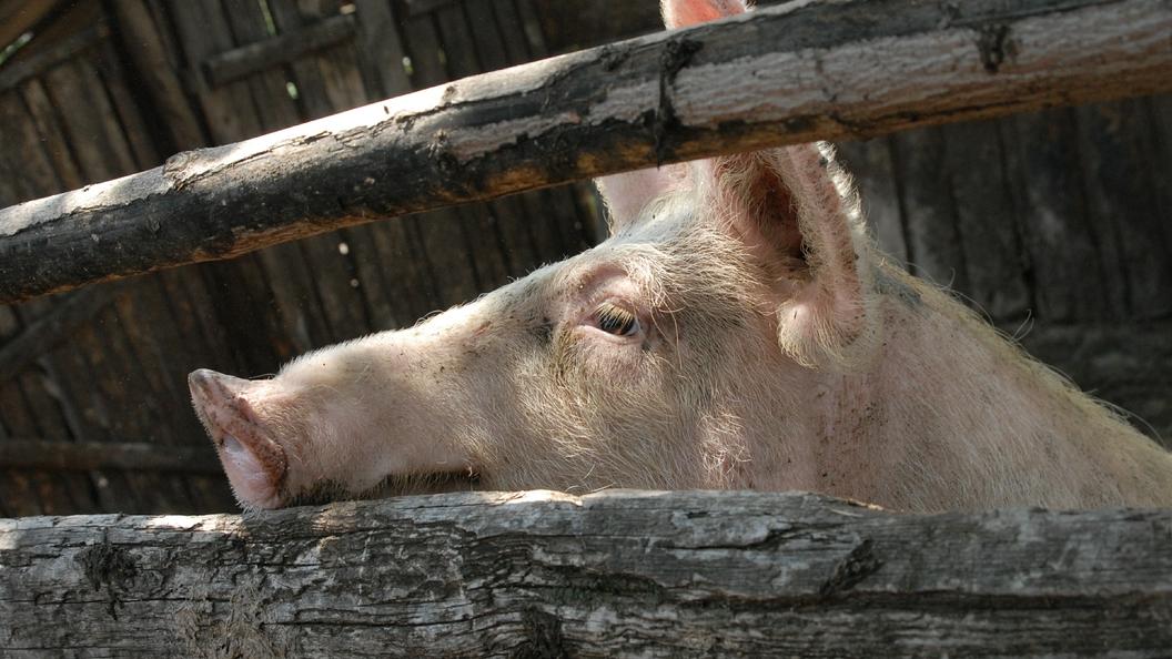 Под Волгоградом из-за африканской чумы перебили все поголовье свиней