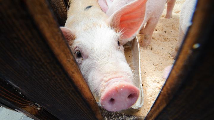 В Омской области определились с компенсацией за забой чумных свиней
