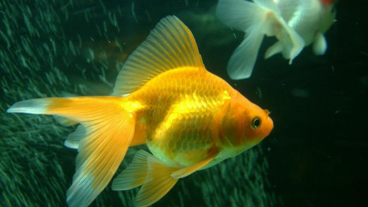Природа, остановись! В Малайзии обнаружили рыбу с человеческим лицом