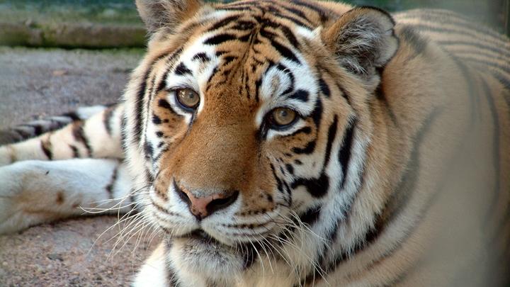 Каждому нужен большой друг!: Видео с отважной кошкой, подружившейся с тигрицей, умилило Сеть