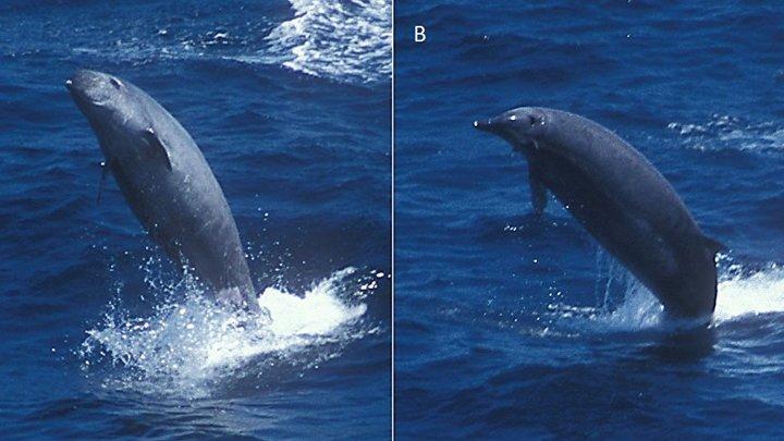 Ученые раскрыли китов с клювом и двумя зубами - видео