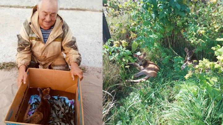 В Нижегородской области спасли ещё одну маленькую косулю без ножки
