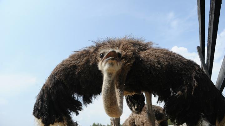 В Новороссийске туристов угостят страусиной яичницей