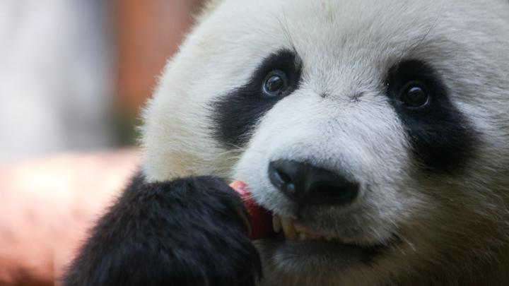 Личный стоматолог и регулярный массаж: В Московском зоопарке рассказали об обычной жизни Диндин и Жуи
