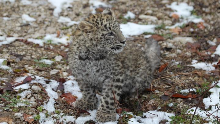 Котенка будут звать Лео! Детенышу леопарда в Сочи выбрали имя с помощью онлайн-голосования