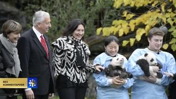 Детеныши панды, родившиеся в бельгийском зоопарке, получили официальные имена