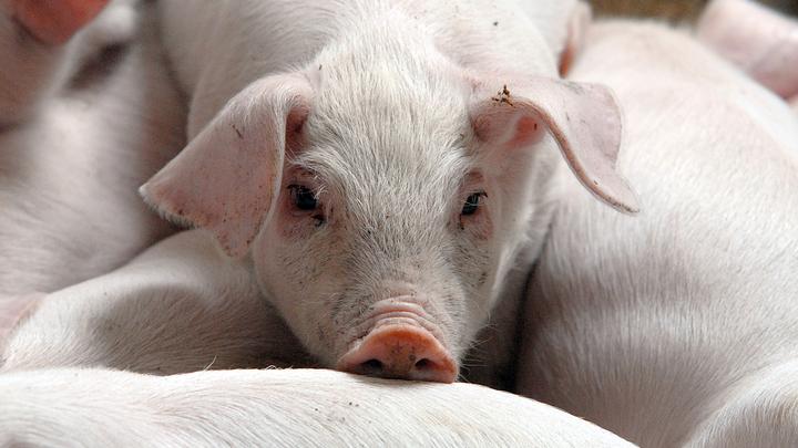 Ленобласть осталась без псковской свинины – у соседей вспышка опасной инфекции