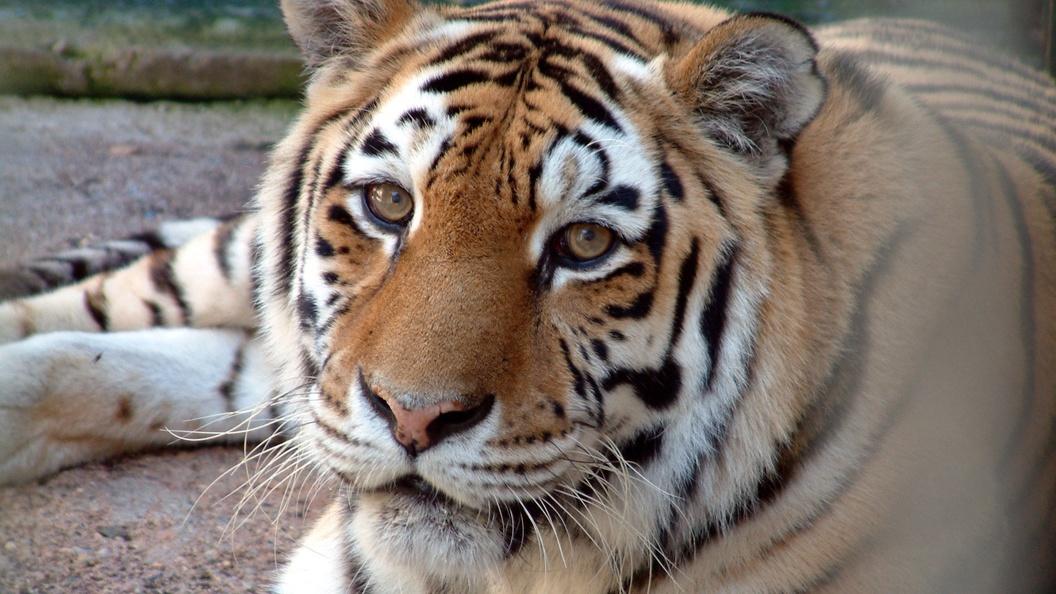 Смерть амурского тигра в США шокировала соцсети