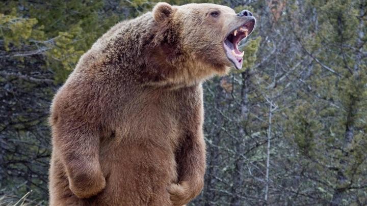 В центре Архангельска автоинспектор обезвредил дикого медведя
