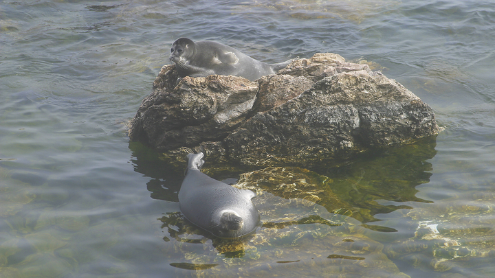 Всё ради фотки: Отдыхающие напали на тюленя с палками и камнями