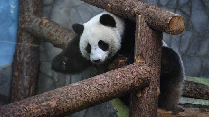 Одинокая панда в Московском зоопарке: Видео очаровашки с чётким расписанием